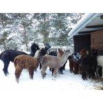 Januar 2017 Alpakas im Schnee